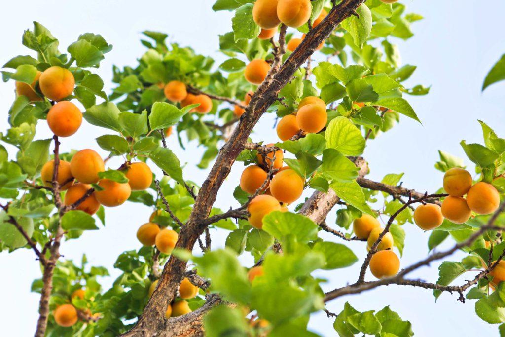 Apricot Nectar or Slush